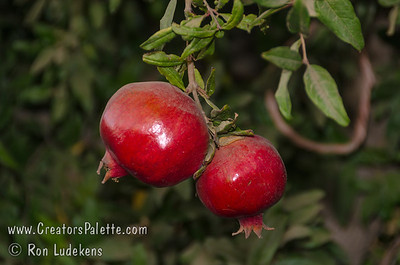 Early Wonderful Pomegranate (Punica granatum) Large, deep red, thin skinned, delicious fruit.  Large, orange-red flowers which bloom late.  Very productive.  Self fertile.  Fruit ripens mid September, about two weeks before Wonderful.  Less than 200 hours chilling required.