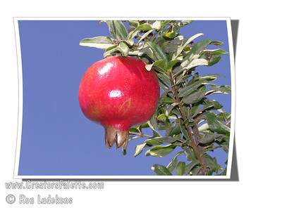 Granada Pomegranate - Punica granatum Large.  Bud mutation of Wonderful Pomegranate.  Resembles Wonderful with deeper red blossoms, regular bearing fruit, and ripens one month earlier.  Fruit is a darker color and less tart.  Tree is identical to Wonderful. Recommended for coastal climates over Wonderful.   Ripens: August. Drought tolerant.