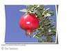 Granada Pomegranate - Punica granatum<br /> Large.  Bud mutation of Wonderful Pomegranate.  Resembles Wonderful with deeper red blossoms, regular bearing fruit, and ripens one month earlier.  Fruit is a darker color and less tart.  Tree is identical to Wonderful. Recommended for coastal climates over Wonderful.   Ripens: August. Drought tolerant.