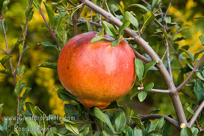 Sweet Pomegranate - Punica granatum Large.  Orange-red flower, pink fruit in the fall.  Flesh color is light pink, not as deep as Wonderful.  Fruit is sweet and juicy when ripe.  Grows to 12 ft.  Ripens: Early September, before Wonderful.  Drought tolerant.