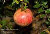Sweet Pomegranate - Punica granatum<br /> Large.  Orange-red flower, pink fruit in the fall.  Flesh color is light pink, not as deep as Wonderful.  Fruit is sweet and juicy when ripe.  Grows to 12 ft.  Ripens: Early September, before Wonderful.  Drought tolerant.