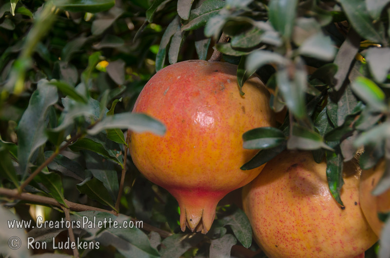 Texas Hardy Pomegranate (Punica granatum sp.)<br /> Large. Pink-orange skin with red blush.  Large orange-red flowers which continue to bloom into harvest season.   Self Fertile.   Ripens: mid to late October.  Requires less than 200 hours chilling below 45º F.  Cold hardy to U.S.D.A.  Zone 6, maybe 5.  From a plant in north Texas which has survived over 25 years with temperatures reaching -18 degrees F.