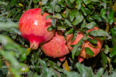 Texas Hardy Pomegranate (Punica granatum sp.) Large. Pink-orange skin with red blush.  Large orange-red flowers which continue to bloom into harvest season.   Self Fertile.   Ripens: mid to late October.  Requires less than 200 hours chilling below 45º F.  Cold hardy to U.S.D.A.  Zone 6, maybe 5.  From a plant in north Texas which has survived over 25 years with temperatures reaching -18 degrees F.