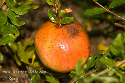 Utah Sweet Pomegranate - Punica granatum Very sweet, good quality fruit.  Pink skin and pulp.  Seeds notably softer than those of Wonderful.  Non-staining.  Attractive pinkish-orange flowers. Ripens mid October to early November.  Drought tolerant.