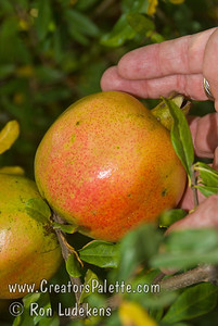 White Pomegranate (Punica granatum) Large.  Orange-red flower, orange skin with some pink blush in the fall.  Flesh color is transparent white.  Fruit is very sweet and juicy when ripe.  Grows to 12 ft.  Ripens: Early September, before Wonderful.