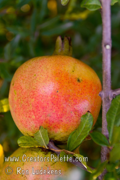 White Pomegranate (Punica granatum)<br /> Large.  Orange-red flower, orange skin with some pink blush in the fall.  Flesh color is transparent white.  Fruit is very sweet and juicy when ripe.  Grows to 12 ft.  Ripens: Early September, before Wonderful.