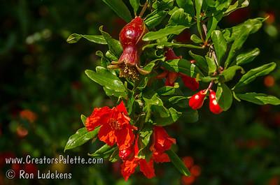 Wonderful Pomegranate Bloom