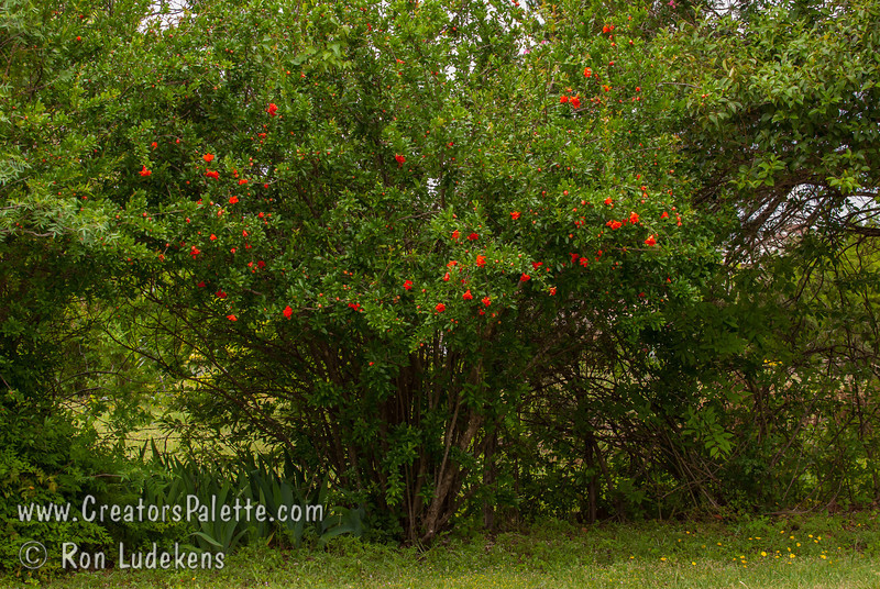 Wondeful Pomegranate in bloom at Petal Pushers Garden Emporium in Cedar Hill, Texas