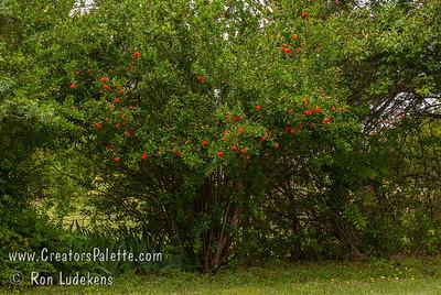 Wondeful Pomegranate in bloom at Petal Pushers Garden Emporium in Cedar Hill, Texas