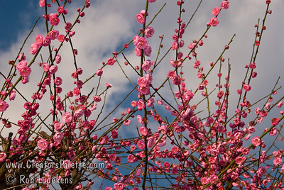 """Fruiting Japanese Apricots (Ume) - Double Pink (Prunus ume sp.) Small fruit 3/4"""" to 1"""" in diameter.  Often used for pickling and medicinal purposes.  Pink, double flowers have a spicy fragrance and bloom from late January to early February.  Ripens in Mid May."""