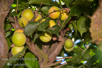 "Fruiting Japanese Apricots (Ume) - Double Pink (Prunus ume sp.) Small fruit 3/4"" to 1"" in diameter.  Often used for pickling and medicinal purposes.  Pink, double flowers have a spicy fragrance and bloom from late January to early February.  Ripens in Mid May."