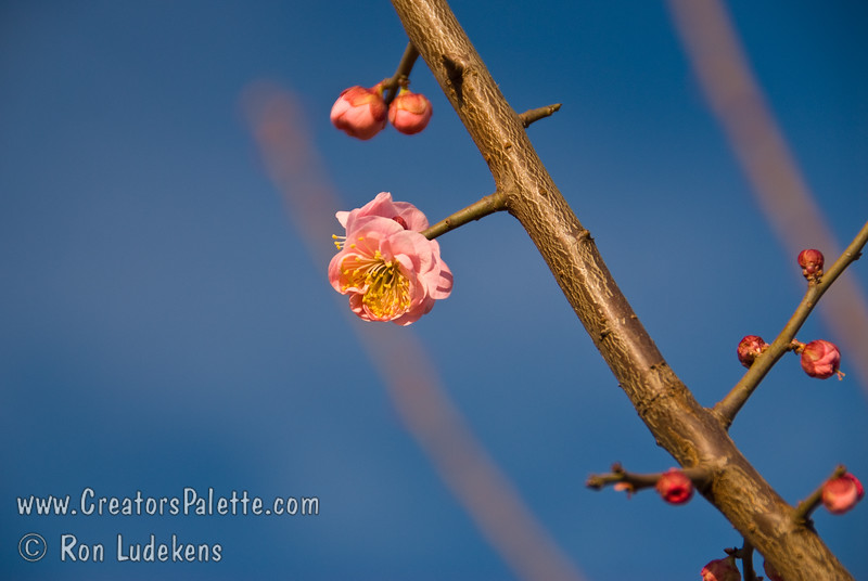 """Koume Semi-Double Pink Fruiting & Flowering Japanese Apricot (Ume) - Prunus Ume<br /> Small fruit 3/4"""" to 1"""" in diameter.  Often used for pickling and medicinal purposes.  Pink, seni-double flowers have a spicy fragrance and bloom from late January to early February.  Ripens in Mid May.  Fruits well in mild winter areas."""
