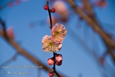 """Koume Semi-Double Pink Fruiting & Flowering Japanese Apricot (Ume) - Prunus Ume Small fruit 3/4"""" to 1"""" in diameter.  Often used for pickling and medicinal purposes.  Pink, seni-double flowers have a spicy fragrance and bloom from late January to early February.  Ripens in Mid May.  Fruits well in mild winter areas."""