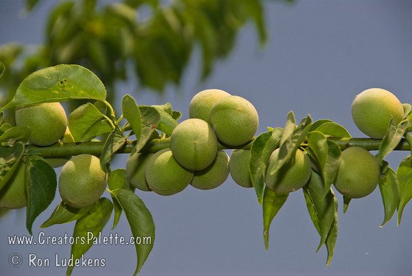 Health Benefits of Ume Apricots