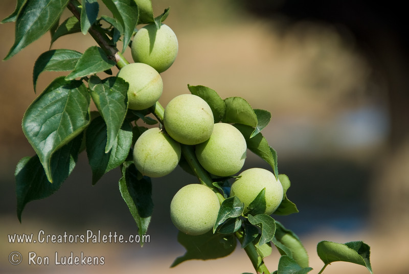 Shiro-Kaga Japanese Flowering/Fruiting Apricot (UME) fruit at the desired picking size and color.