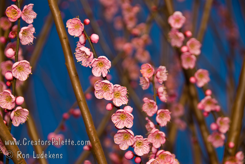 "Single Pink Ume Apricot (Prunus sp.)<br /> Ripe fruit has a red blush over orange skin.  3/4"" to 1"" in diameter.  Attractive, showy single pink blooms from late January to Early February.  Both blooms and fruit are prolific.  Earliest to bloom indicating low chill hours for mild winter areas (approximately 300-400 hours).  Fruit ripens mid May to Early June.  Height 15-20 feet."