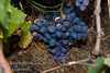 Autumn Royal Seedless Grapes (Vitis vinifera)<br /> Large, seedless, dark purple to black grapes.  Appeal rests on large berry size and late maturity.  Vigorous vines perform best when spur pruned.  Hardy to USDA Zone 7.  Ripens: Late September to Mid October.<br /> These photos taken on 10/26/2007 - a little past their prime.