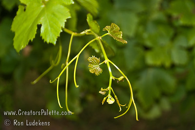 Autumn Seedless Grape - Vitis vinifera A late season Thompson Seedless grape released by the USDA.  Medium size, pale green to golden color.  High sugar content.  Good for fresh eating or making into raisins.  Cane pruning.  Hardy to USDA Zone 7.  Ripens: Late September to Mid-October.