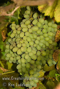 Autumn Seedless Grapes - Vitis vinifera A late season grape similar to Thompson Seedless released by the USDA.  Medium size, pale green to golden color.  High sugar content.  Good for fresh eating or making into raisins.  Cane prune.  Hardy to USDA Zone 7.  Ripens: Late August to September.