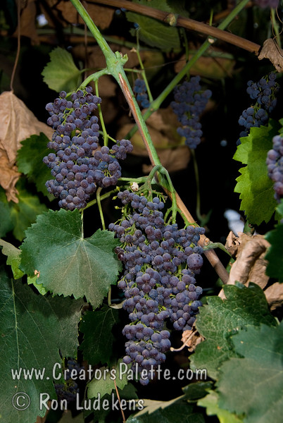 """Black Corinth Grape (Zante Currants) - Vitis vinifera<br /> This unique tiny grape is often called """"Champagne Grape"""" by epicureans (lovers of good food).  Although not a true currant, when dried they are referred to as Zante Currants.  Zante are used extensively in baking.  An old Greek variety.  The grape is dark red to black, firm skinned, juicy and crunchy with a very sweet spicy flavor when ripe.  It is seedless.  They have th highest sugar content of any grape grown today for the fresh market.  Best of all, you can eat the stem and all.  Just take the whole cluster and pop it in your mouth.  It is like eating sugar.  A tiny cluster can bring great elegance if laid over fish, poultry, veal, pork or beef.  Hardy to USDA Zone 7 or about 0 degrees F.  Ripens: Late July to Early August.<br /> Photo taken with permission of Black Corinth #02 at Cal-Western Nursery, Visalia, CA"""