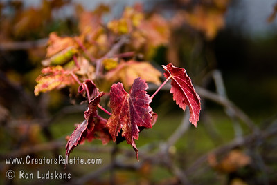 Black Emerald (Seedless) Grape - Vitis vinifera.   Some grapes offer some attractive fall colors.  Black Emerald is one that does.