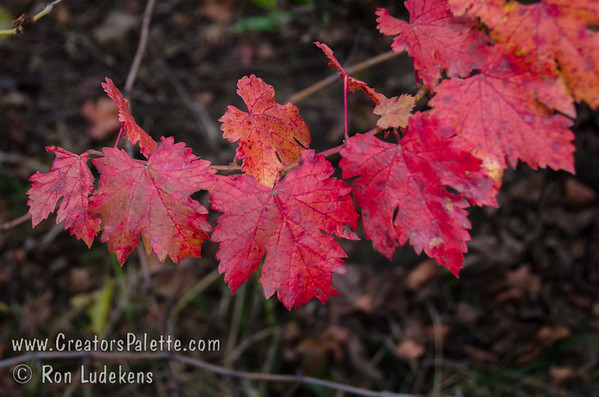 Black Emerald Grape Fall Color