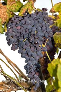 Black Monukka Grape - Vitis vinifera Popular home variety.  Medium size fruit with a tender skin.  Crisp, sweet flavor.  Black seedless table grape.  Good fresh or dried as raisins.  Cane or spur pruning.  Self Fertile.  Ripens:  August to September.  Cold Hardy to U.S.D.A. Zone 6.