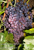 Black Monukka Grape - Vitis vinifera<br /> Popular home variety.  Medium size fruit with a tender skin.  Crisp, sweet flavor.  Black seedless table grape.  Good fresh or dried as raisins.  Cane or spur pruning.  Self Fertile.  Ripens:  August to September.  Cold Hardy to U.S.D.A. Zone 6.