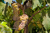 Canadice (Seedless) Grape - Vitis vinifera cross<br /> Excellent red grape for cold climates. Red, seedless table and raisin grape.  Sweet, fruity, excellent flavor.  Medium sized.  Very productive.  Long tapered clusters are well filled.  Cane pruning. Self Fertile.  Ripens: Mid-August, one week after Himrod.  Cold hardy to U.S.D.A.  Zone 5.