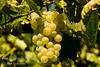 Delight Grape - Vitis vinifera<br /> A very good grape for coastal and mild winter (low chill) areas.  Seedless.  Large size.  Dark greenish-yellow, resembling Thompson Seedless in color.  Crisp, delicate Muscat flavor.  Fine keeping quality.  It produces heavily in big, loose clusters.  Table and raisin use.  Cane pruning.  Hardy to USDA Zone 7.  Ripens: Late July.