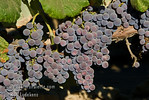 Eastern Concord Seedless Grape - Vitis labrusca