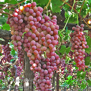 Flame Seedless Grapes - Vitis vinifera Red skin with firm flesh and good eating quality.  Medium size.  Very productive.  Color may be affected in extremely hot areas.  Hardy to USDA Zone 7.  Ripens in late July.