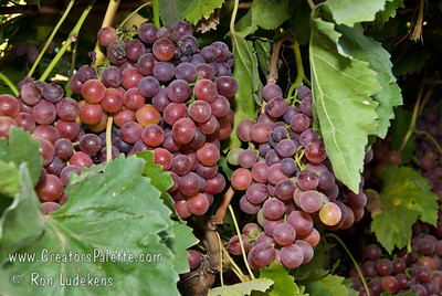 Flame Seedless Grapes - Vitis vinifera Red skin with firm flesh and good eating quality.  Medium size.  Very productive.  Color may be affected in extremely hot areas.  Hardy to USDA Zone 7.  Ripens in late July. Photos taken at Cal-Western Nursery with permission.