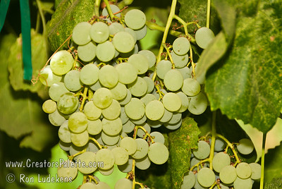 Himrod Grape - Vitis vinifera cross An excellent green seedless grape, but especially prized for colder climate areas.  A greenish-yellow translucent seedless grape.  It produces sweet, very good quality fruit. Clusters are large but rather loose and have seedless berries that are medium in size and oval in shape.  Berries can also be used to produce raisins.  Self Fertile.  Ripens: August to September.  Cold Hardy to U.S.D.A. Zone 5.