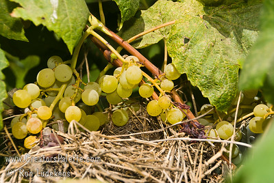 Sometimes little discoveries like this make my day.  While shooting images of the Himrod Grape I ran across this bird's nest.  This is all I could see at eye level.