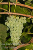 Lakemont Grape - Vitis vinifera cross<br /> This light green to gold grape is juicy, crisp and has great flavor.  It is great for fresh eating and raisins. Lakemont was developed from California Thompson Seedless, is a sister to Himrod, Interlaken and Romulus and is the most productive of the three.  It has the largest, tightest cluster of all the seedless grapes. Cane pruning. Ripens: Late August, 10-20 days before Eastern Concord.  Cold hardy to U.S.D.A. Zone 5.
