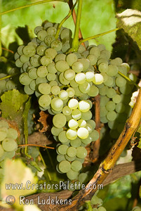 Lakemont Grape - Vitis vinifera cross This light green to gold grape is juicy, crisp and has great flavor.  It is great for fresh eating and raisins. Lakemont was developed from California Thompson Seedless, is a sister to Himrod, Interlaken and Romulus and is the most productive of the three.  It has the largest, tightest cluster of all the seedless grapes. Cane pruning. Ripens: Late August, 10-20 days before Eastern Concord.  Cold hardy to U.S.D.A. Zone 5.