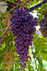 Midgely's Purple Seedless Grape (Vitis vinifera)<br /> An excellent eating, seedless grape with reddish-purple skin.  Medium sized.  Has firm, crisp, sweet, flavorful flesh that is tinged with red.  The variety is a heavy producer of extremely large bunches.  Good for table use and raisins.  Cane or spur pruning.  Hardy to USDA Zone 6.  Ripens:  September.