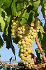 Summer Muscat Grapes (Seedless) (Vitis vinifera)<br /> Early season, white seedless Muscat raisin grape suitable for cutting canes and drying on the vine.  Flavor is sweet with a strong Muscat flavor that remains when the fruit is dried.  Vigorous grower and very productive vine.  Ripens: Third week of August in Central Valley of California.