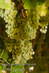 Summer Muscat Grapes (Seedless) (Vitis vinifera) Early season, white seedless Muscat raisin grape suitable for cutting canes and drying on the vine.  Flavor is sweet with a strong Muscat flavor that remains when the fruit is dried.  Vigorous grower and very productive vine.  Ripens: Third week of August in Central Valley of California. Photo taken at Cal-Western Nursery, Visalia, CA