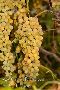 Summer Muscat Grapes (Seedless) (Vitis vinifera) Early season, white seedless Muscat raisin grape suitable for cutting canes and drying on the vine.  Flavor is sweet with a strong Muscat flavor that remains when the fruit is dried.  Vigorous grower and very productive vine.  Ripens: Third week of August in Central Valley of California.