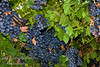 Summer Royal Grape - Vitis vinifera<br /> Ideal for fresh eating.  Medium sized, mid-season black seedless grape.  Flavor is sweet, neutral and good.    Cane pruning. Self Fertile.  Ripens: Third to fourth week of August in Central California, after Fantasy Seedless.  Cold hardy to U.S.D.A.  Zone 7. <br /> Photos taken at Cal-Western Nursery with permission.