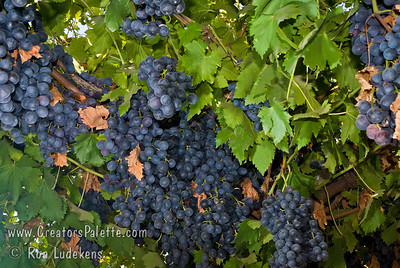 Summer Royal Grape - Vitis vinifera Ideal for fresh eating.  Medium sized, mid-season black seedless grape.  Flavor is sweet, neutral and good.    Cane pruning. Self Fertile.  Ripens: Third to fourth week of August in Central California, after Fantasy Seedless.  Cold hardy to U.S.D.A.  Zone 7.  Photos taken at Cal-Western Nursery with permission.