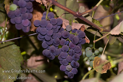 California Concord Grapes (Isabella Grapes) - Vitis labrusca cross Large, oblong.  Blue-black, seeded grape.  Sweet flavored.  Good for mild coastal and cold winter areas.  Good for table, juice and jelly.  Hardy to USDA Zone 5.  Ripens: September.