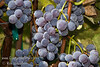 California Concord Grapes (Isabella Grapes) - Vitis labrusca cross<br /> Large, oblong.  Blue-black, seeded grape.  Sweet flavored.  Good for mild coastal and cold winter areas.  Good for table, juice and jelly.  Hardy to USDA Zone 5.  Ripens: September.