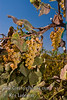 Golden Muscat Grapes - Vitis vinifera cross<br /> Large.  Golden-green, sweet, seeded, table and wine grape.  Highly productive.  Good in coastal and interior vlleys, also winter hardy in Utah.  Cane pruning.  Hardy to USDA Zone 6.  Ripens: August