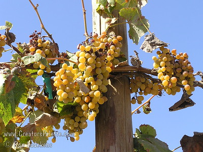 Golden Muscat Grapes - Vitis vinifera cross Large.  Golden-green, sweet, seeded, table and wine grape.  Highly productive.  Good in coastal and interior vlleys, also winter hardy in Utah.  Cane pruning.  Hardy to USDA Zone 6.  Ripens: August