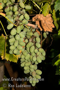 Ladyfinger Grape - Calmeria selecion - Vitis vinifera Table grape - seeded.  Large, elongated. Light green.  Thick skin, rich tangy-sweet flavor.  Cane or spur pruning.  Hardy to USDA Zone 8.  Ripens: October