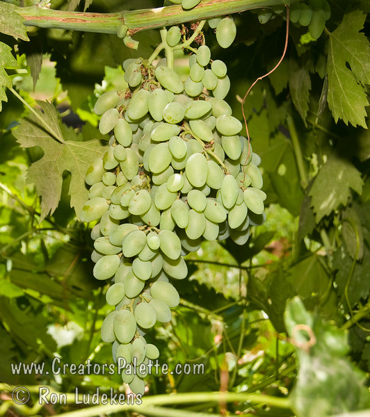 Ladyfinger Grape -Olivet Blanche selecion - Vitis vinifera<br /> Table grape - seeded.  Large, elongated. Light green.  Thick skin, rich tangy-sweet flavor.  Cane or spur pruning.  Hardy to USDA Zone 8.  Ripens: October (This photos is not yet ripe)