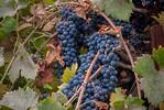 Zinfandel (Primitivo) Grape - Vitis vinifera